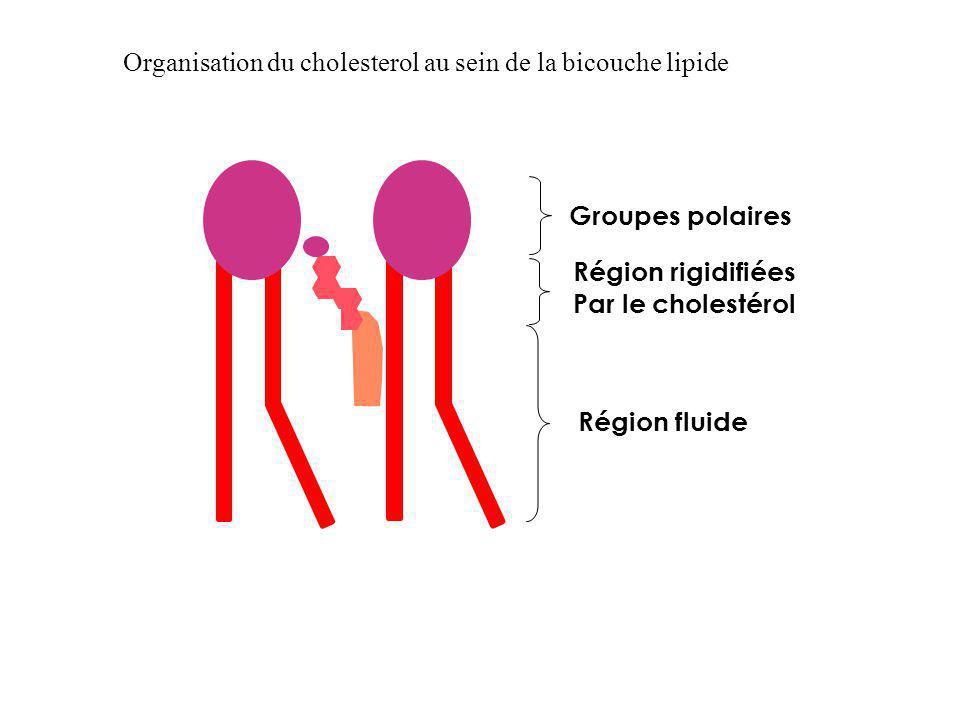 Groupes polaires Région rigidifiées Par le cholestérol Région fluide Organisation du cholesterol au sein de la bicouche lipide