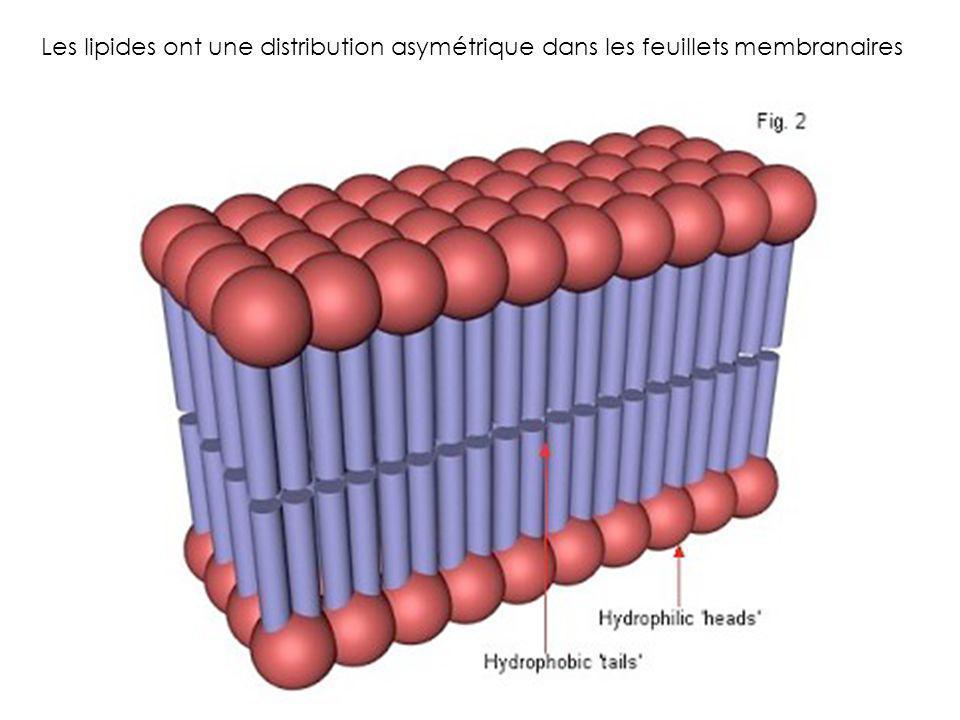 Les lipides ont une distribution asymétrique dans les feuillets membranaires