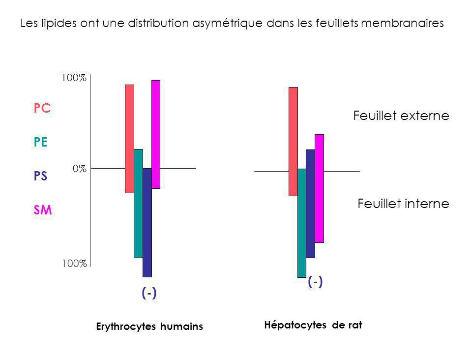 PC PE PS SM Feuillet externe Feuillet interne (-) 100% 0% Erythrocytes humains Hépatocytes de rat