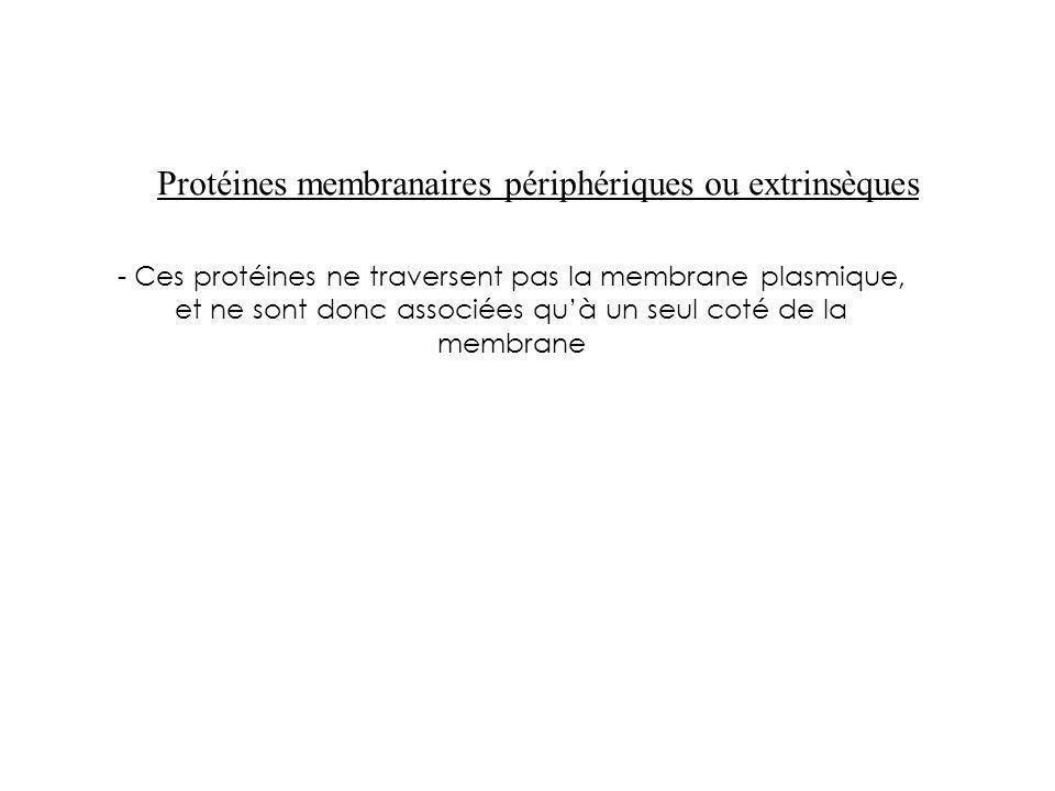 - Ces protéines ne traversent pas la membrane plasmique, et ne sont donc associées quà un seul coté de la membrane Protéines membranaires périphérique