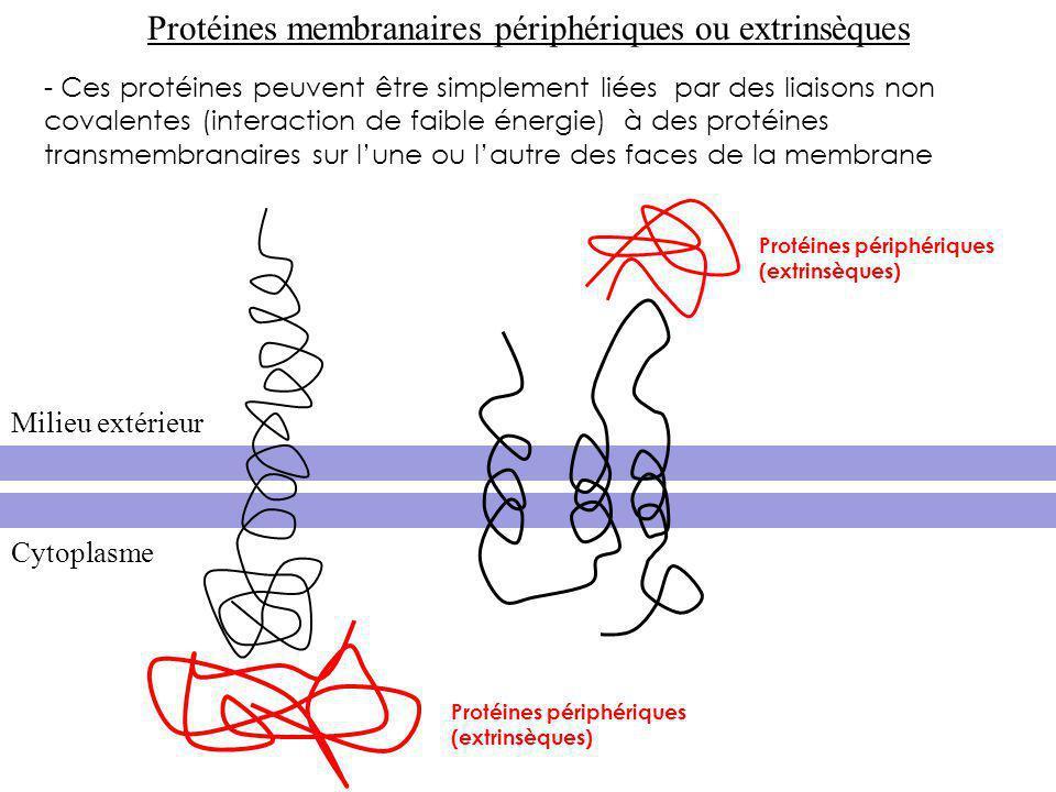 Protéines périphériques (extrinsèques) - Ces protéines peuvent être simplement liées par des liaisons non covalentes (interaction de faible énergie) à