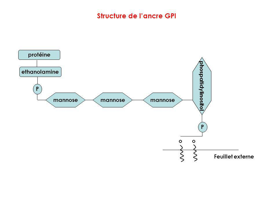 ethanolamine mannose phospatidylinositol o o P P Structure de lancre GPI Feuillet externe protéine