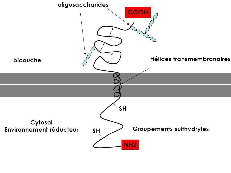 SH Groupements sulfhydryles Cytosol Environnement réducteur S S S S S S oligosaccharides Hélices transmembranaires bicouche NH2 COOH