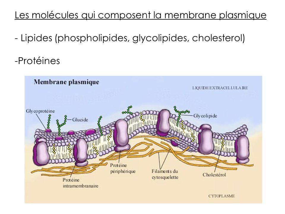 Les molécules qui composent la membrane plasmique - Lipides (phospholipides, glycolipides, cholesterol) -Protéines