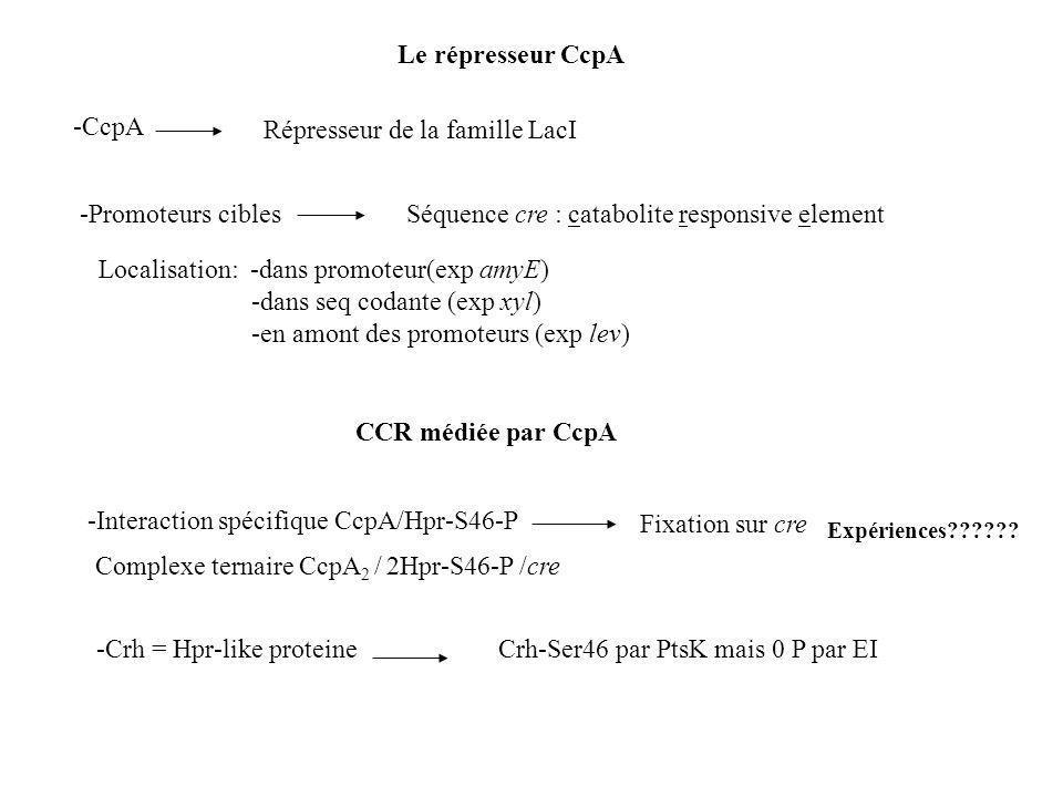-CcpA Répresseur de la famille LacI -Promoteurs cibles Le répresseur CcpA Séquence cre : catabolite responsive element Localisation: -dans promoteur(exp amyE) -dans seq codante (exp xyl) -en amont des promoteurs (exp lev) CCR médiée par CcpA Expériences?????.