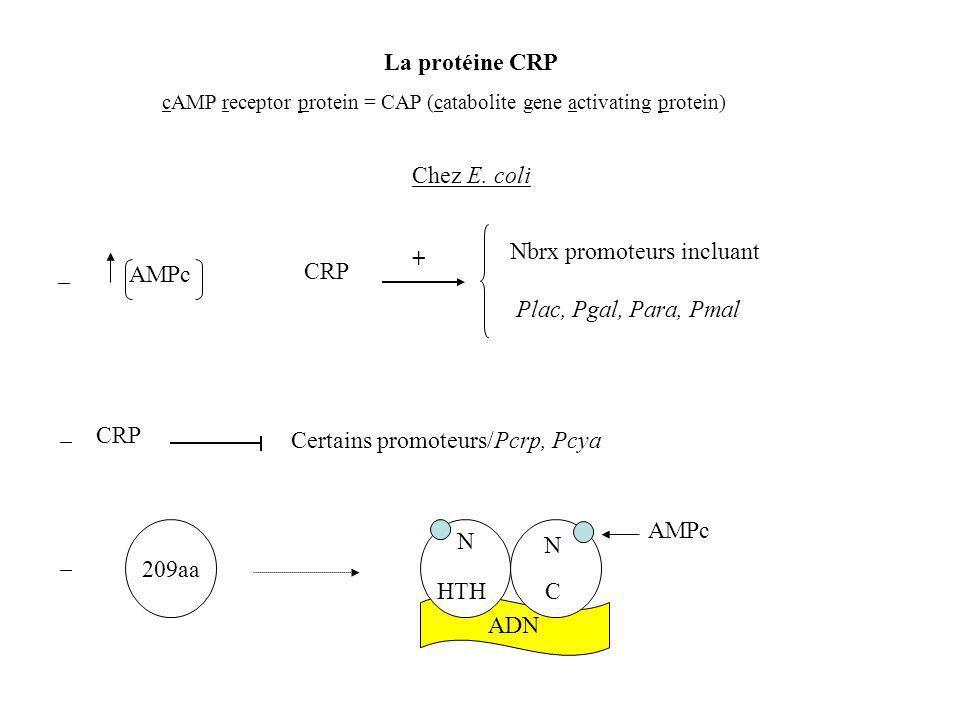 La protéine CRP cAMP receptor protein = CAP (catabolite gene activating protein) AMPc CRP + Nbrx promoteurs incluant Plac, Pgal, Para, Pmal Chez E.