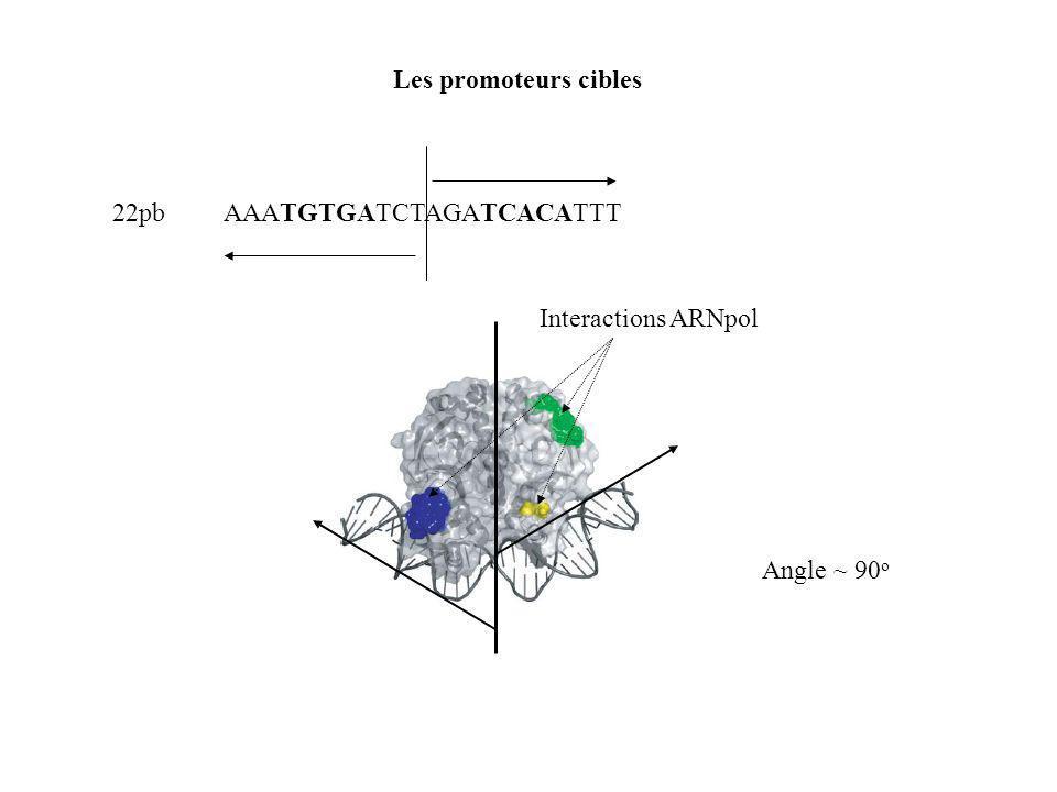 Les promoteurs cibles AAATGTGATCTAGATCACATTT 22pb Angle ~ 90 o Interactions ARNpol
