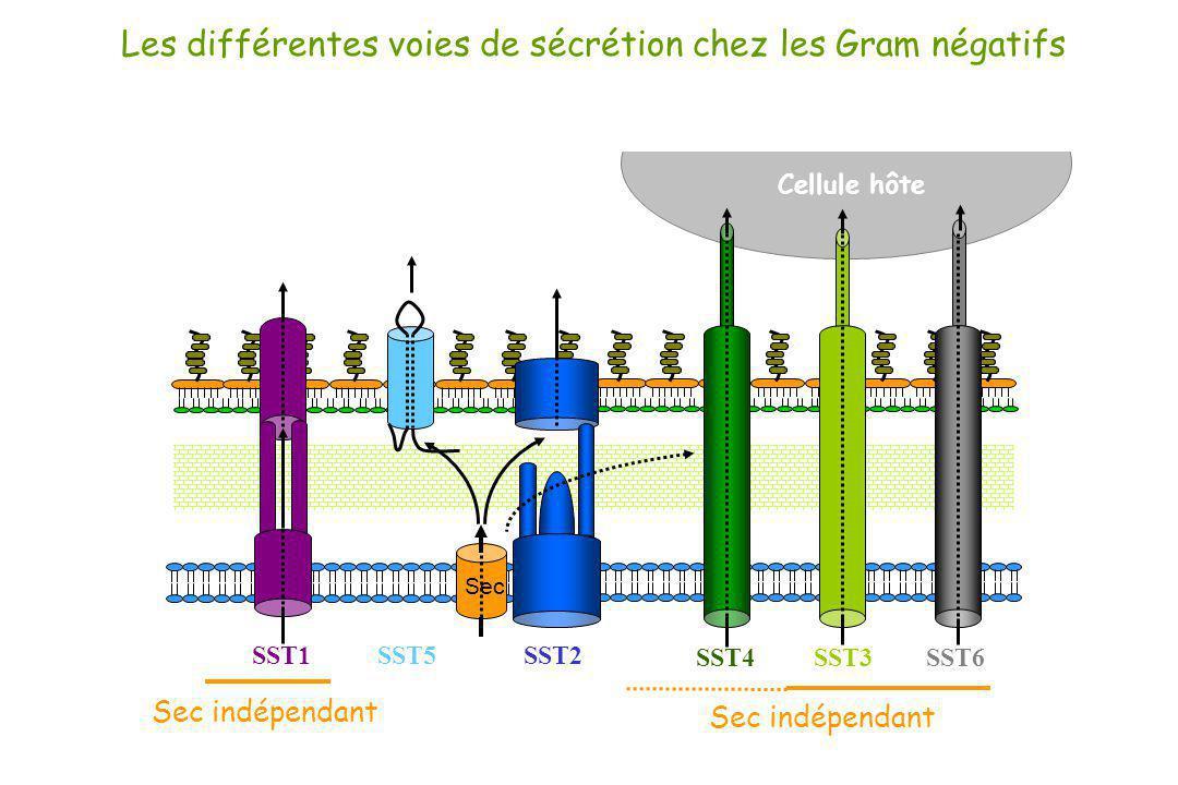 Cellule hôte Les différentes voies de sécrétion chez les Gram négatifs SST1 SST3SST4 SST6 Sec SST5SST2 Pili de type IV Pili conjugatifs Flagelle Phage Canaux * Sécrétine * * ATPase * de trafic * * Filaments