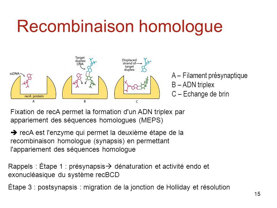 15 Recombinaison homologue A – Filament présynaptique B – ADN triplex C – Echange de brin Fixation de recA permet la formation d un ADN triplex par appariement des séquences homologues (MEPS) recA est l enzyme qui permet la deuxième étape de la recombinaison homologue (synapsis) en permettant l appariement des séquences homologue Rappels : Étape 1 : présynapsis dénaturation et activité endo et exonucléasique du système recBCD Étape 3 : postsynapsis : migration de la jonction de Holliday et résolution