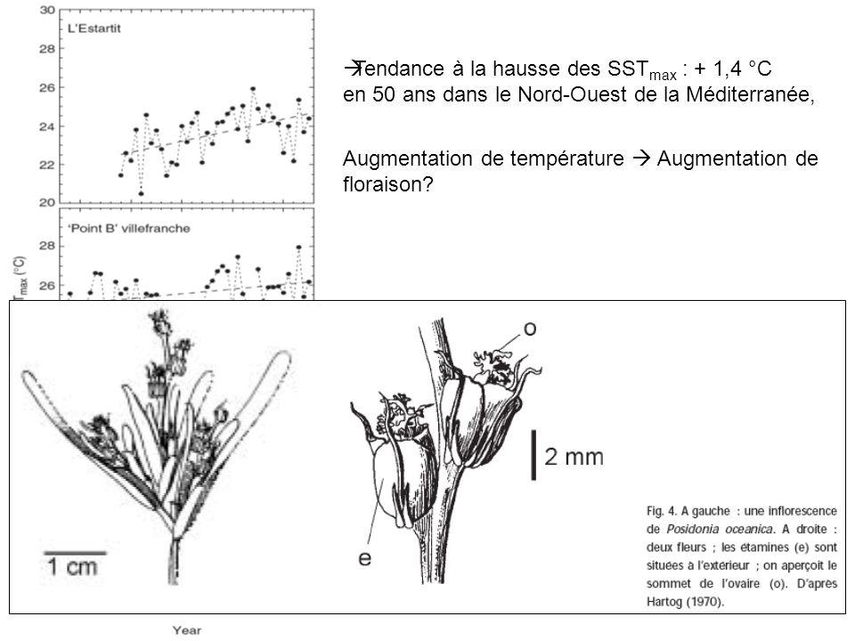 Tendance à la hausse des SST max : + 1,4 °C en 50 ans dans le Nord-Ouest de la Méditerranée, Augmentation de température Augmentation de floraison? Sé