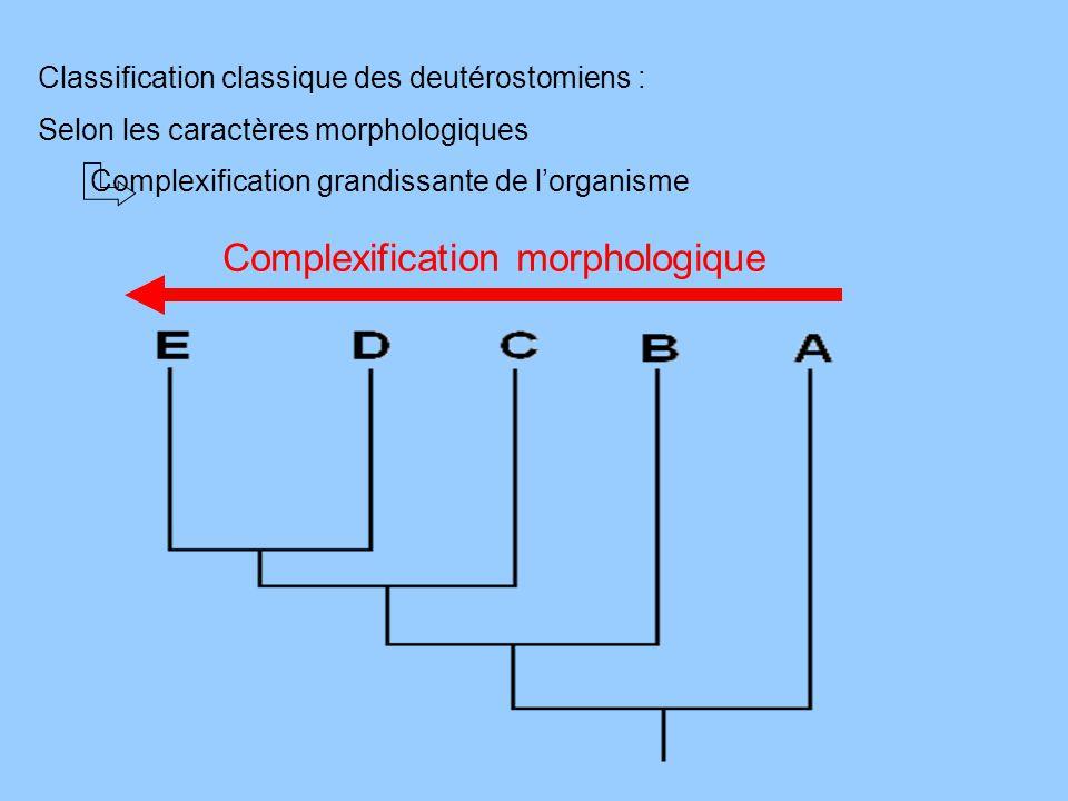 Classification classique des deutérostomiens : Selon les caractères morphologiques Complexification grandissante de lorganisme Complexification morpho
