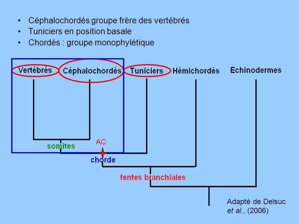 Céphalochordés groupe frère des vertébrés Tuniciers en position basale Chordés : groupe monophylétique Adapté de Delsuc et al., (2006) AC