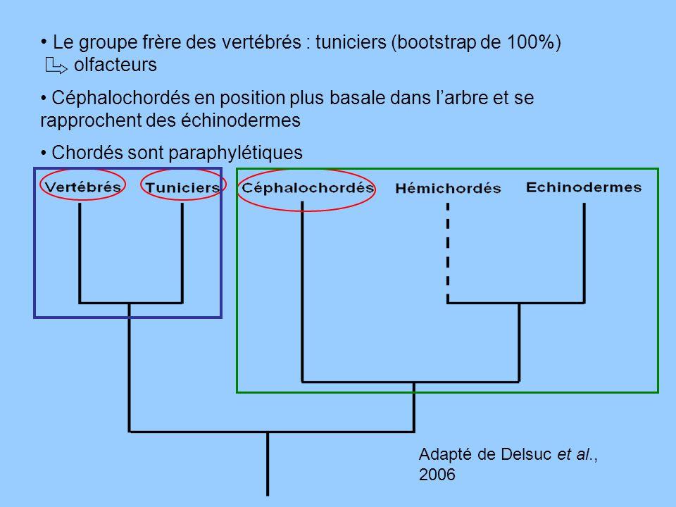Le groupe frère des vertébrés : tuniciers (bootstrap de 100%) olfacteurs Céphalochordés en position plus basale dans larbre et se rapprochent des échi