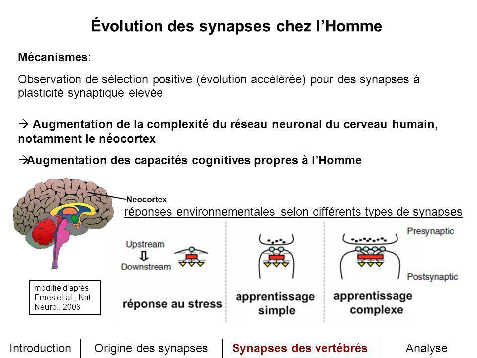 Évolution des synapses chez lHomme Mécanismes: Observation de sélection positive (évolution accélérée) pour des synapses à plasticité synaptique élevé