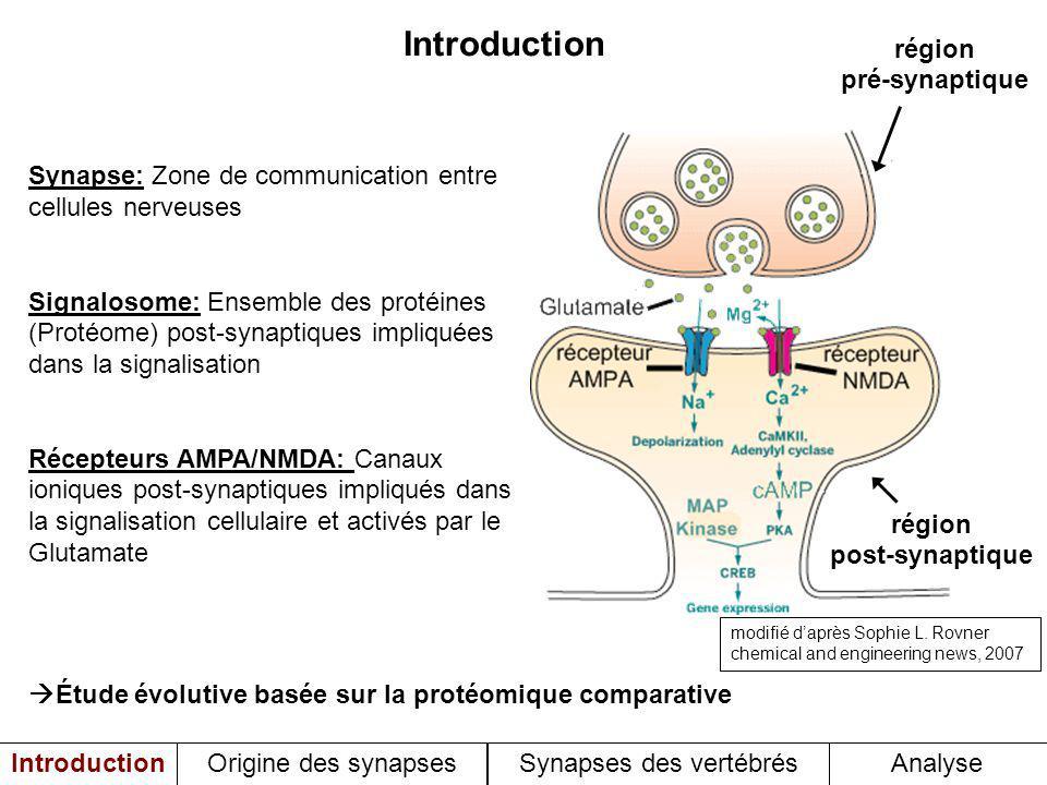 Synapse: Zone de communication entre cellules nerveuses Signalosome: Ensemble des protéines (Protéome) post-synaptiques impliquées dans la signalisation Récepteurs AMPA/NMDA: Canaux ioniques post-synaptiques impliqués dans la signalisation cellulaire et activés par le Glutamate Étude évolutive basée sur la protéomique comparative région post-synaptique région pré-synaptique Introduction Origine des synapses Synapses des vertébrésAnalyse modifié daprès Sophie L.