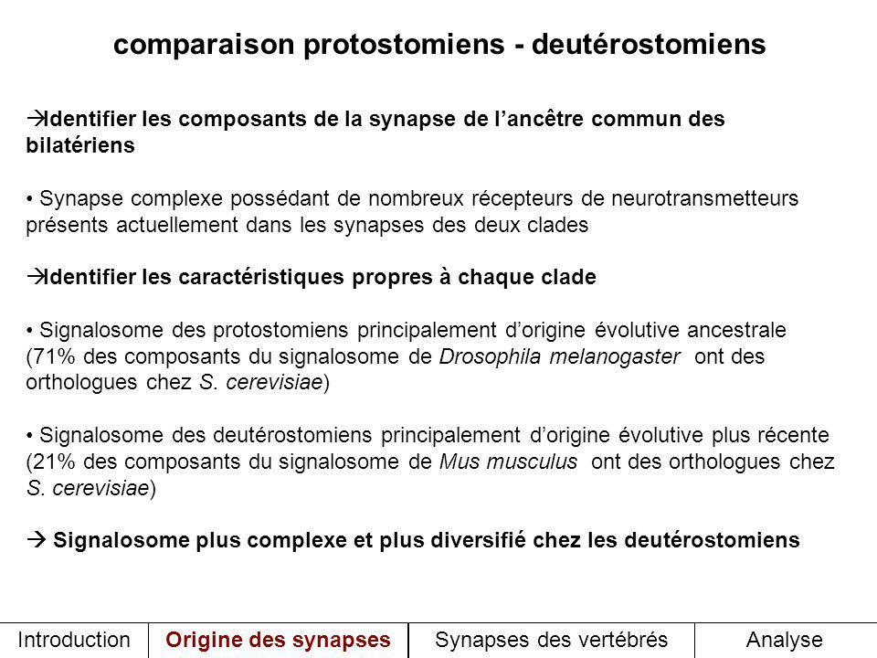 comparaison protostomiens - deutérostomiens Identifier les composants de la synapse de lancêtre commun des bilatériens Synapse complexe possédant de nombreux récepteurs de neurotransmetteurs présents actuellement dans les synapses des deux clades Identifier les caractéristiques propres à chaque clade Signalosome des protostomiens principalement dorigine évolutive ancestrale (71% des composants du signalosome de Drosophila melanogaster ont des orthologues chez S.