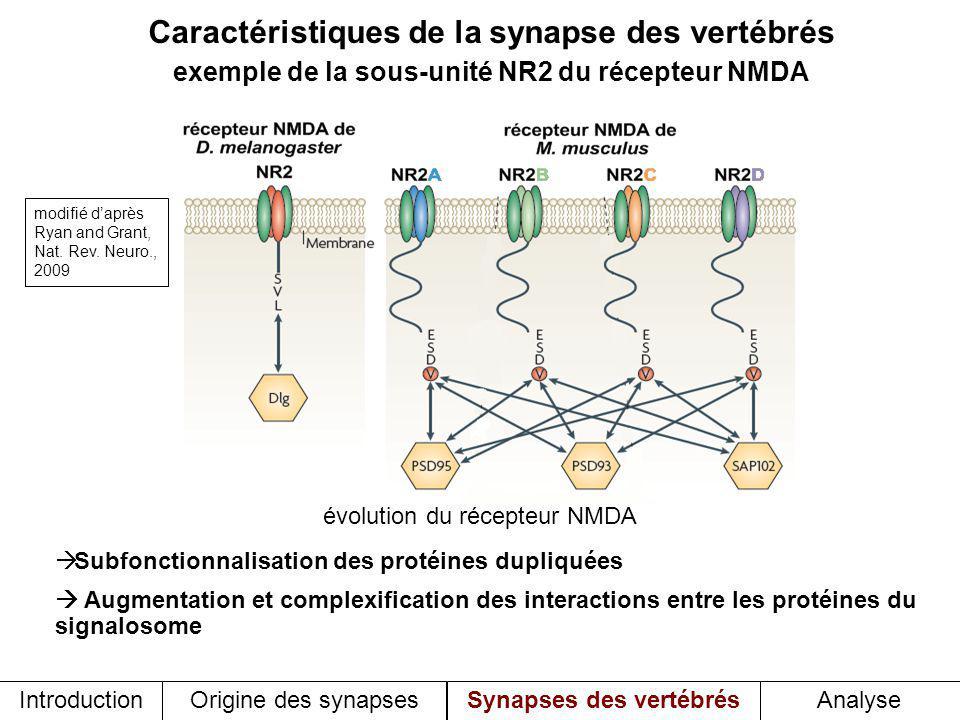 Caractéristiques de la synapse des vertébrés exemple de la sous-unité NR2 du récepteur NMDA Subfonctionnalisation des protéines dupliquées Augmentation et complexification des interactions entre les protéines du signalosome évolution du récepteur NMDA Introduction Origine des synapses Synapses des vertébrésAnalyse modifié daprès Ryan and Grant, Nat.