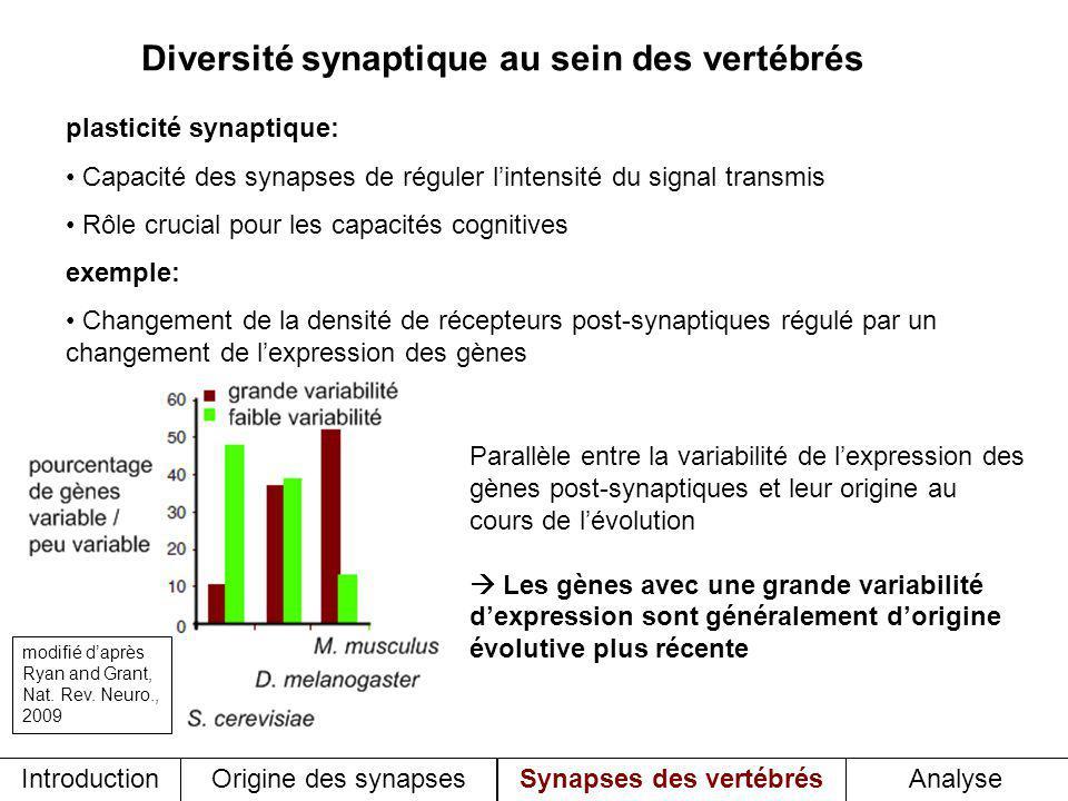 Diversité synaptique au sein des vertébrés plasticité synaptique: Capacité des synapses de réguler lintensité du signal transmis Rôle crucial pour les capacités cognitives exemple: Changement de la densité de récepteurs post-synaptiques régulé par un changement de lexpression des gènes Parallèle entre la variabilité de lexpression des gènes post-synaptiques et leur origine au cours de lévolution Les gènes avec une grande variabilité dexpression sont généralement dorigine évolutive plus récente Introduction Origine des synapses Synapses des vertébrésAnalyse modifié daprès Ryan and Grant, Nat.