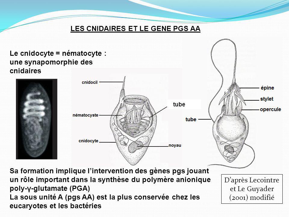 Le cnidocyte = nématocyte : une synapomorphie des cnidaires LES CNIDAIRES ET LE GENE PGS AA Daprès Lecointre et Le Guyader (2001) modifié tube Sa formation implique lintervention des gènes pgs jouant un rôle important dans la synthèse du polymère anionique poly-γ-glutamate (PGA) La sous unité A (pgs AA) est la plus conservée chez les eucaryotes et les bactéries