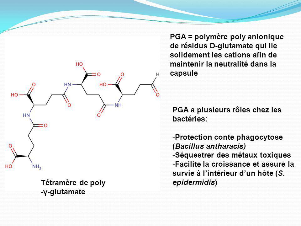 Tétramère de poly -γ-glutamate PGA = polymère poly anionique de résidus D-glutamate qui lie solidement les cations afin de maintenir la neutralité dans la capsule PGA a plusieurs rôles chez les bactéries: -Protection conte phagocytose (Bacillus antharacis) -Séquestrer des métaux toxiques -Facilite la croissance et assure la survie à lintérieur dun hôte (S.