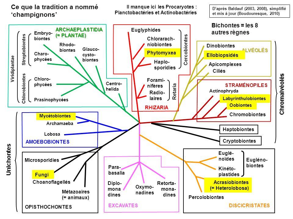 Embryo- biontes Charo- phycées Chloro- phycées Prasinophycées Rhodo- biontes Glauco- cysto- biontes Lobosa Mycétobiontes Microsporidies Fungi Choanoflagellés Métazoaires (= animaux) Para- basalia Retorta- mona- dines Euglé- noïdes Kinéto- plastides Acrasiobiontes (= Heterolobosa) Percolobiontes Chromobiontes Oobiontes Labyrinthulobiontes Ciliés Dinobiontes Apicomplexes Radio- laires Forami- nifères Chlorarach- niobiontes EXCAVATESDISCICRISTATES STRAMÉNOPILES ALVÉOLÉS RHIZARIA AMOEBOBIONTES OPISTHOCHONTES Centro- helida Actinophryda Haptobiontes Cryptobiontes Chromalvéolés Chlorobiontes Viridiplantae Eugléno- biontes Archamaeba Phytomyxea Haplo- sporidies Unichontes Diplo- mona dines Oxymo- nadines Streptobiontes Euglyphides Retaria Cercobiontes Bichontes = les 8 autres règnes ARCHAEPLASTIDIA (= PLANTAE) Ellobiopsidés Ce que la tradition a nommé champignons Daprès Baldauf (2003, 2008), simplifié et mis à jour (Boudouresque, 2010) Il manque ici les Procaryotes : Planctobactéries et Actinobactéries