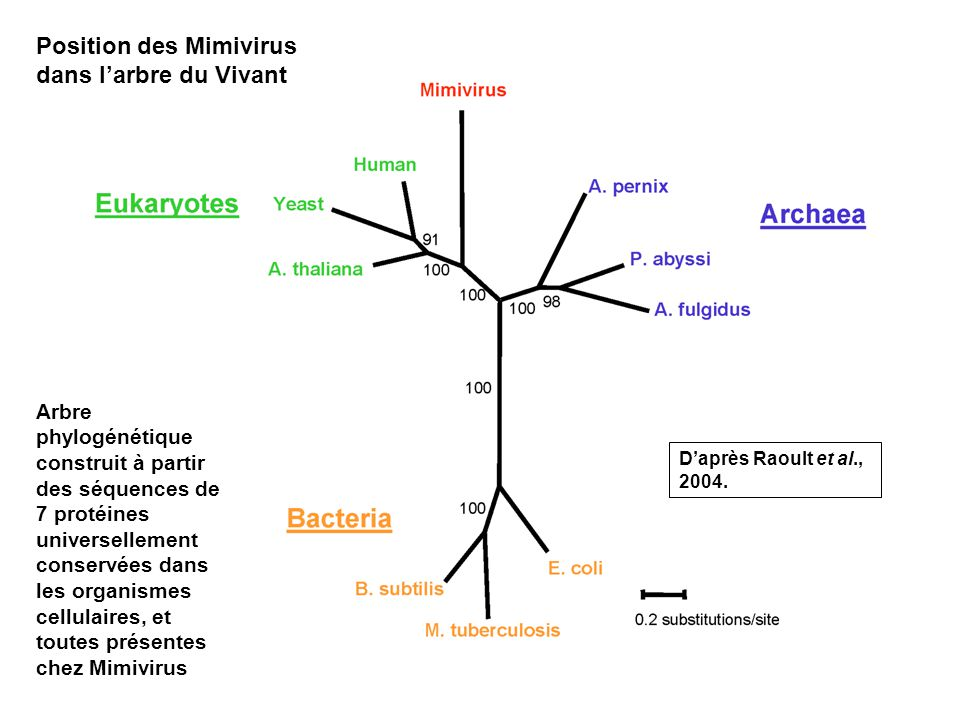 3 Position des Mimivirus dans larbre du Vivant Arbre phylogénétique construit à partir des séquences de 7 protéines universellement conservées dans les organismes cellulaires, et toutes présentes chez Mimivirus Daprès Raoult et al., 2004.