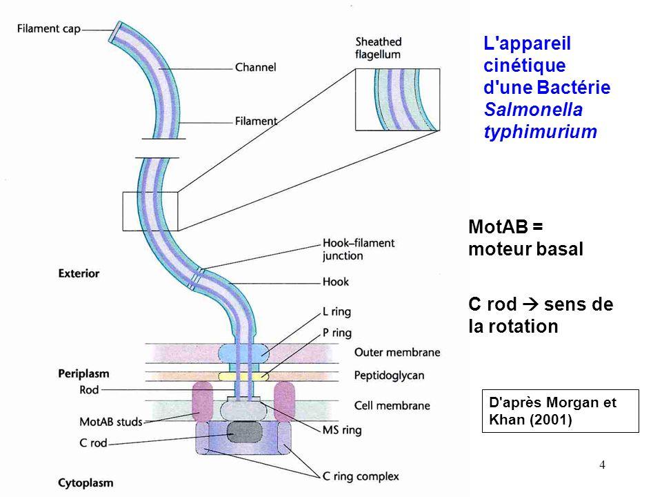 4 L appareil cinétique d une Bactérie Salmonella typhimurium D après Morgan et Khan (2001) MotAB = moteur basal C rod sens de la rotation