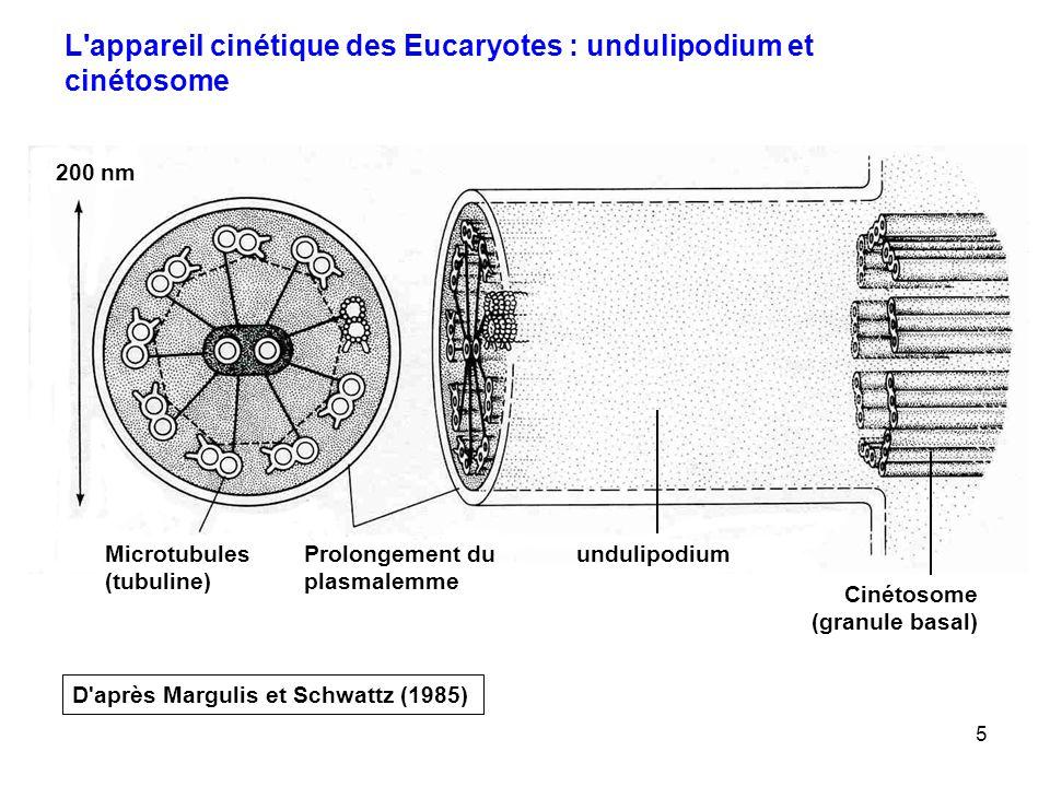 5 200 nm Microtubules (tubuline) Prolongement du plasmalemme undulipodium Cinétosome (granule basal) L appareil cinétique des Eucaryotes : undulipodium et cinétosome D après Margulis et Schwattz (1985)