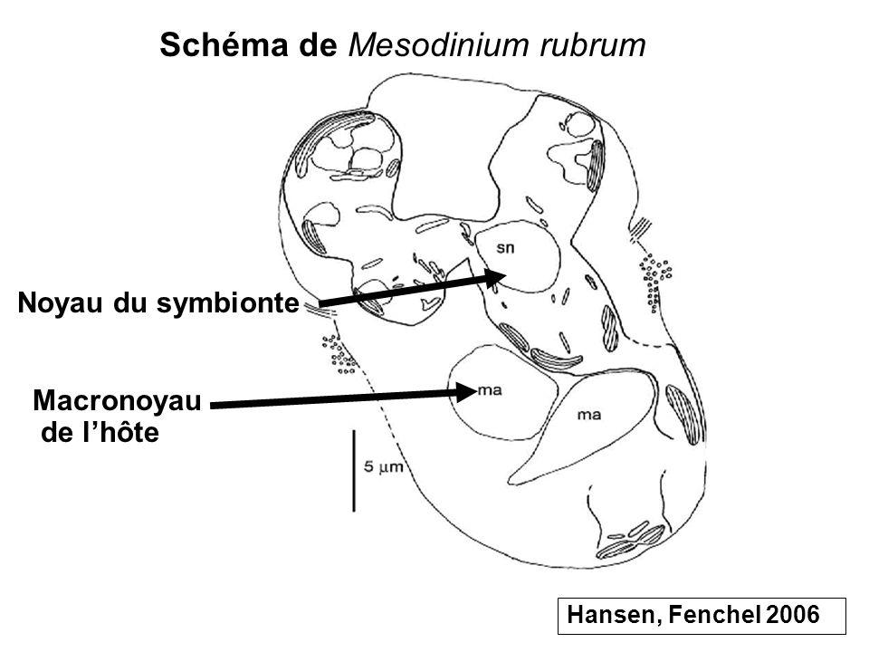 Noyau du symbionte Macronoyau de lhôte Schéma de Mesodinium rubrum Hansen, Fenchel 2006