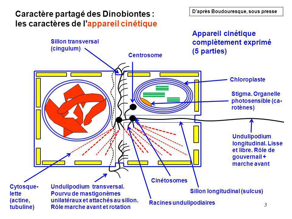 4 L appareil cinétique des Dinobiontes Deux undulipo- diums insérés dans des rainures Undulipodium transversal.