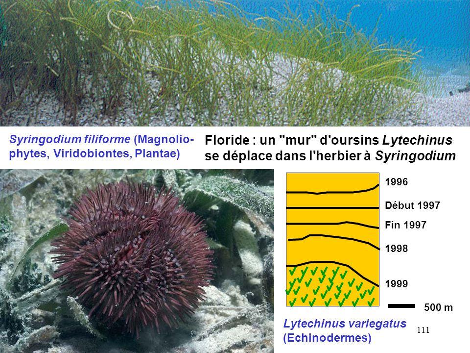 111 Syringodium filiforme (Magnolio- phytes, Viridobiontes, Plantae) Lytechinus variegatus (Echinodermes) 500 m Floride : un mur d oursins Lytechinus se déplace dans l herbier à Syringodium 1996 Début 1997 Fin 1997 1998 1999