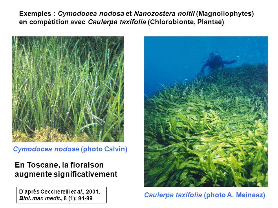 20 Exemples : Cymodocea nodosa et Nanozostera noltii (Magnoliophytes) en compétition avec Caulerpa taxifolia (Chlorobionte, Plantae) Caulerpa taxifolia (photo A.