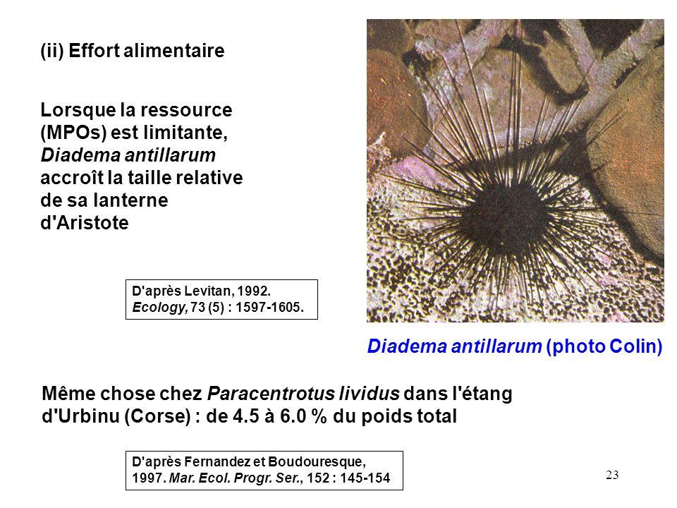 23 (ii) Effort alimentaire Lorsque la ressource (MPOs) est limitante, Diadema antillarum accroît la taille relative de sa lanterne d Aristote D après Levitan, 1992.