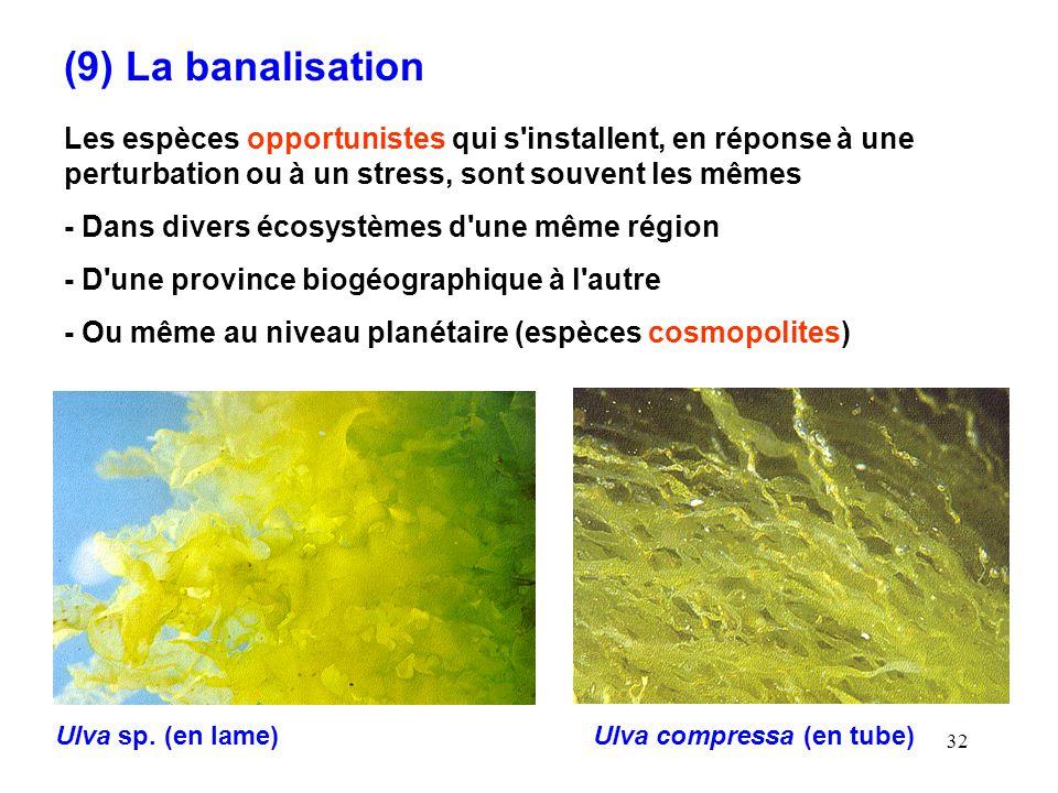 32 (9) La banalisation Les espèces opportunistes qui s installent, en réponse à une perturbation ou à un stress, sont souvent les mêmes - Dans divers écosystèmes d une même région - D une province biogéographique à l autre - Ou même au niveau planétaire (espèces cosmopolites) Ulva sp.