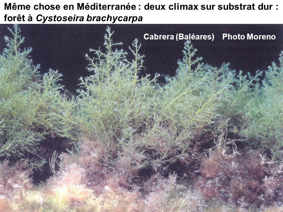 88 Même chose en Méditerranée : deux climax sur substrat dur : forêt à Cystoseira brachycarpa Cabrera (Baléares) Photo Moreno
