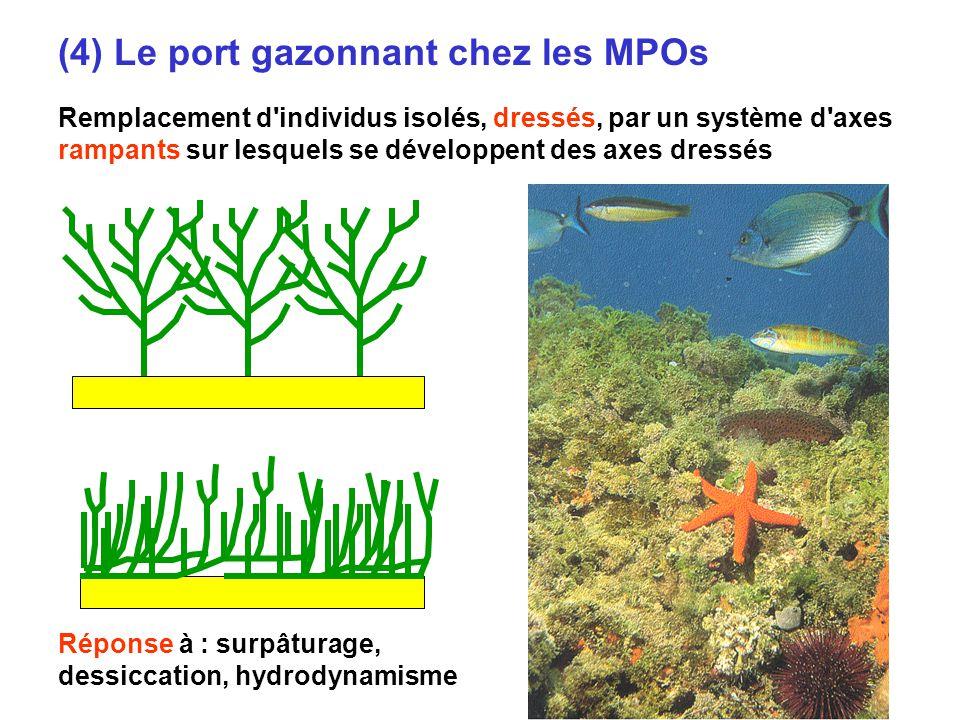 9 (4) Le port gazonnant chez les MPOs Remplacement d individus isolés, dressés, par un système d axes rampants sur lesquels se développent des axes dressés Réponse à : surpâturage, dessiccation, hydrodynamisme