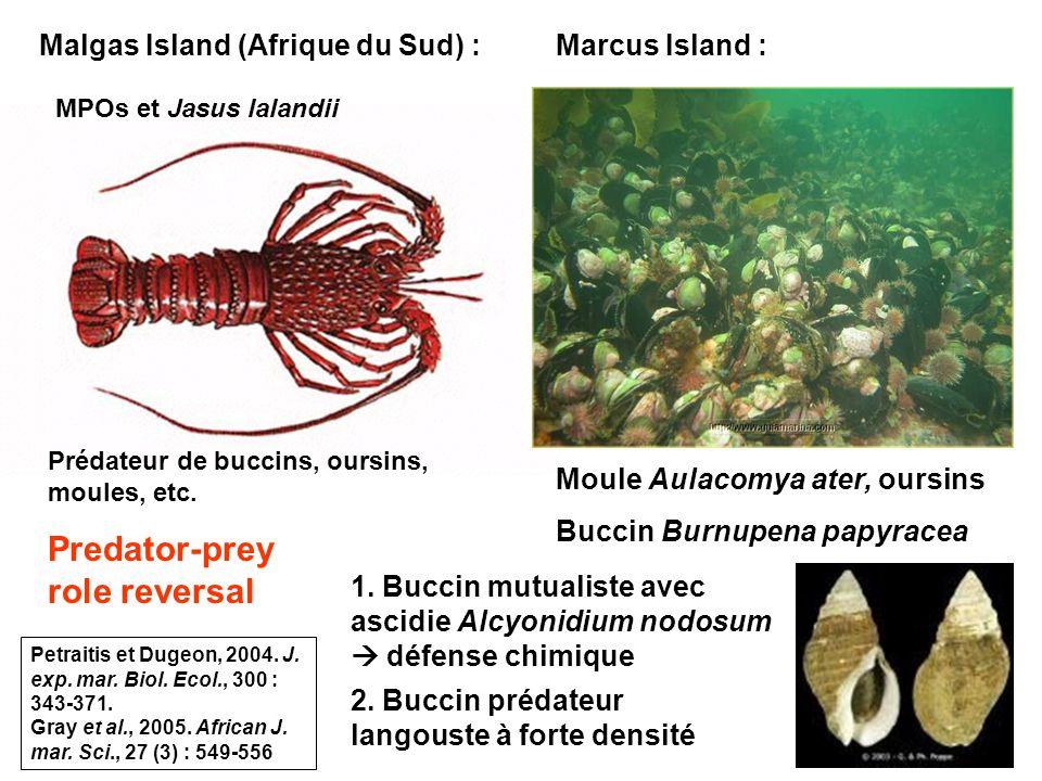 92 Malgas Island (Afrique du Sud) : MPOs et Jasus lalandii Prédateur de buccins, oursins, moules, etc.