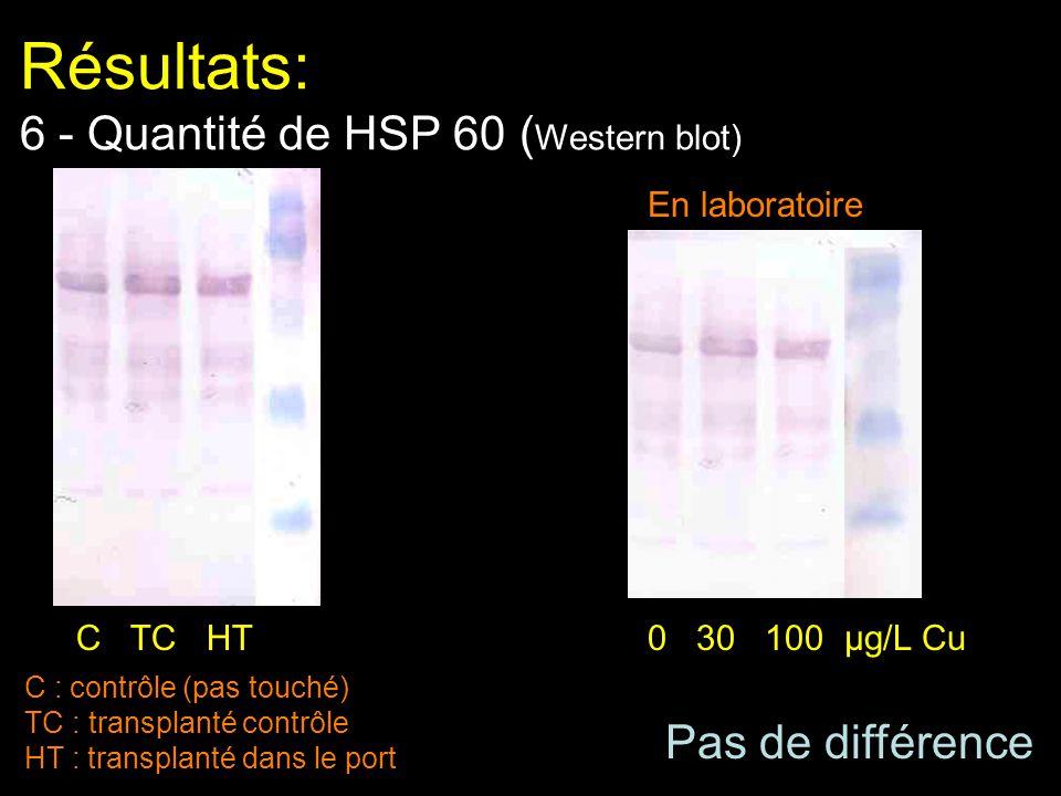 Résultats: 6 - Quantité de HSP 60 ( Western blot) C : contrôle (pas touché) TC : transplanté contrôle HT : transplanté dans le port Pas de différence