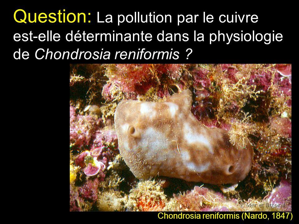 Question: La pollution par le cuivre est-elle déterminante dans la physiologie de Chondrosia reniformis ? Chondrosia reniformis (Nardo, 1847)