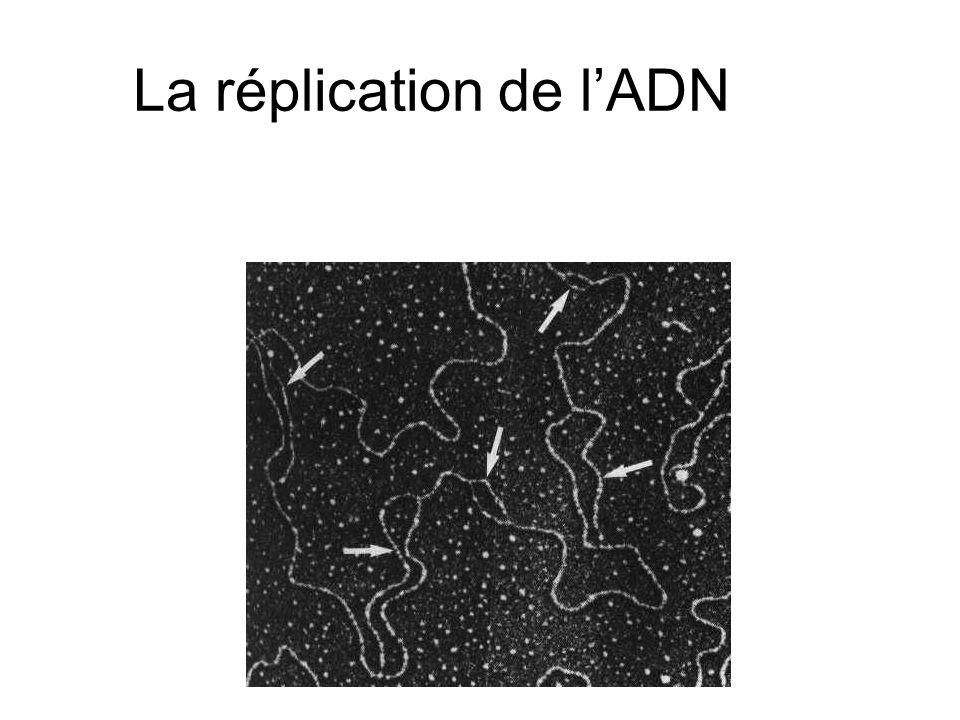 La réplication de lADN
