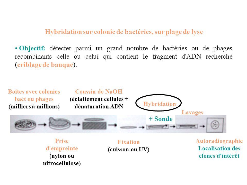 Hybridation sur colonie de bactéries, sur plage de lyse Objectif: détecter parmi un grand nombre de bactéries ou de phages recombinants celle ou celui