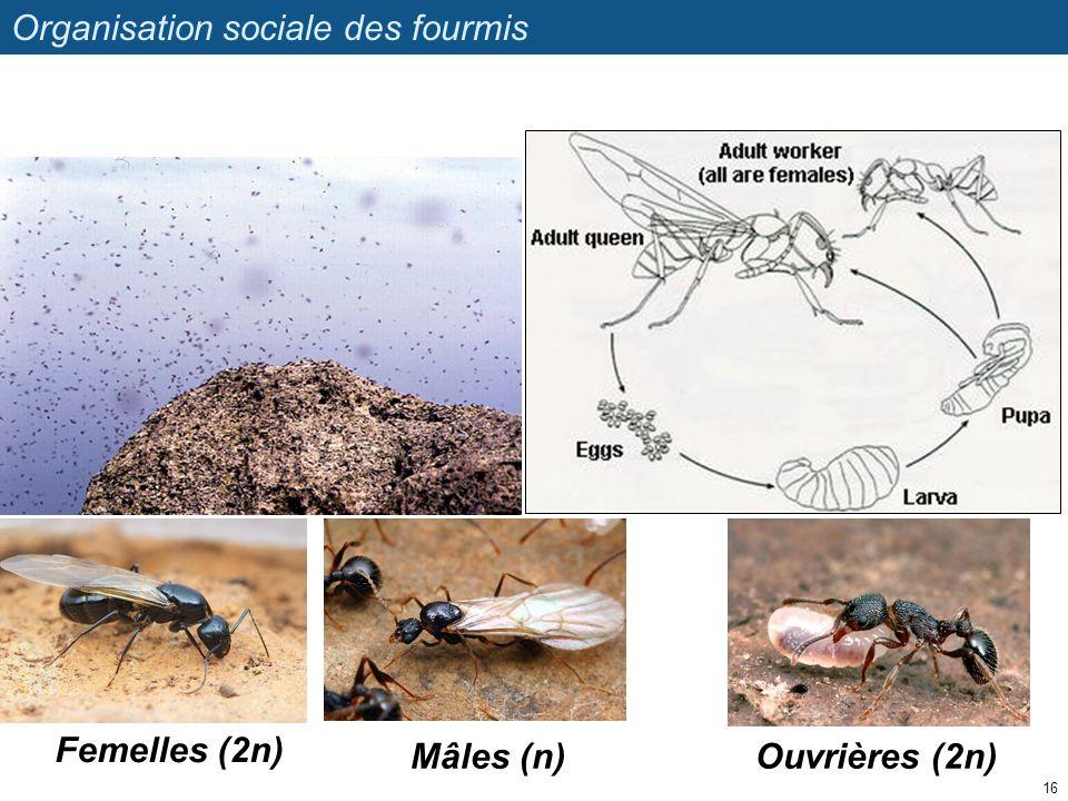 Organisation sociale des fourmis 16 Femelles (2n) Mâles (n)Ouvrières (2n)