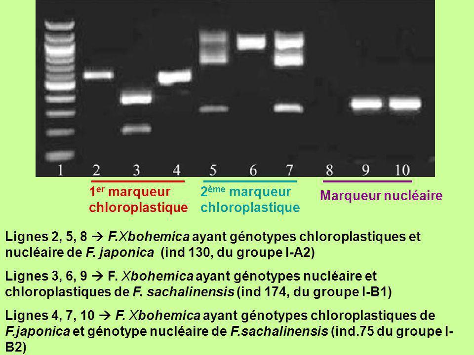 Lignes 2, 5, 8 F.Xbohemica ayant génotypes chloroplastiques et nucléaire de F. japonica (ind 130, du groupe I-A2) Lignes 3, 6, 9 F. Xbohemica ayant gé