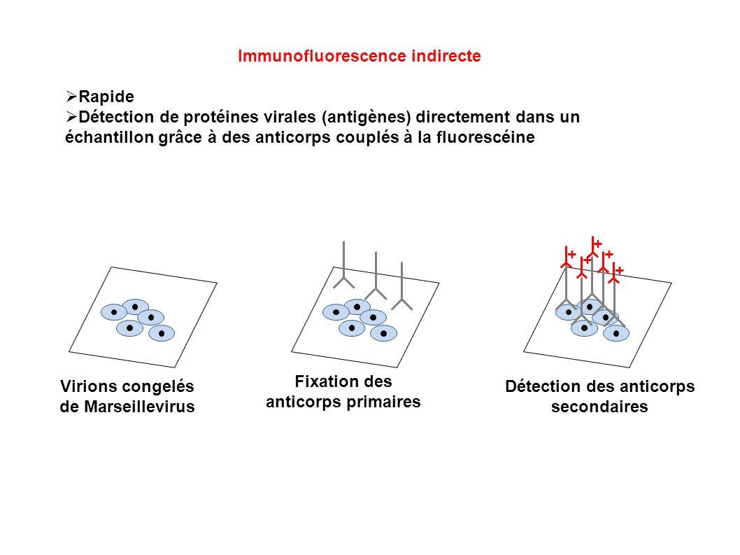 Immunofluorescence indirecte Rapide Détection de protéines virales (antigènes) directement dans un échantillon grâce à des anticorps couplés à la fluo