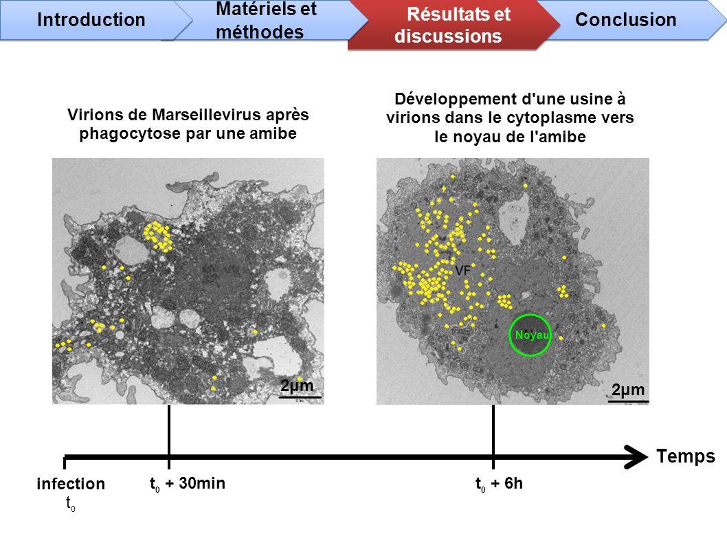 Temps infection t 0 t 0 + 30mint 0 + 6h Virions de Marseillevirus après phagocytose par une amibe Développement d'une usine à virions dans le cytoplas