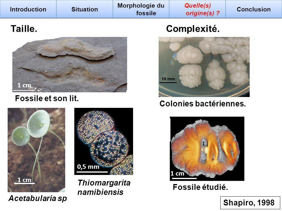 Taille.Complexité. 1 cm Fossile et son lit. 1 cm Acetabularia sp 0,5 mm Thiomargarita namibiensis Colonies bactériennes. 1 cm Fossile étudié. Shapiro,