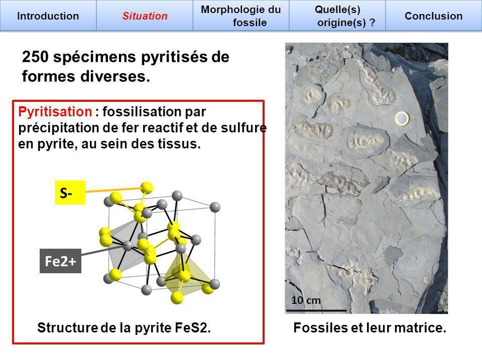 10 cm Fossiles et leur matrice. 250 spécimens pyritisés de formes diverses. Structure de la pyrite FeS2. S- Fe2+ Pyritisation : fossilisation par préc