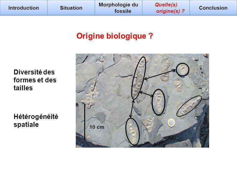 Origine biologique ? 10 cm Diversité des formes et des tailles Hétérogénéité spatiale
