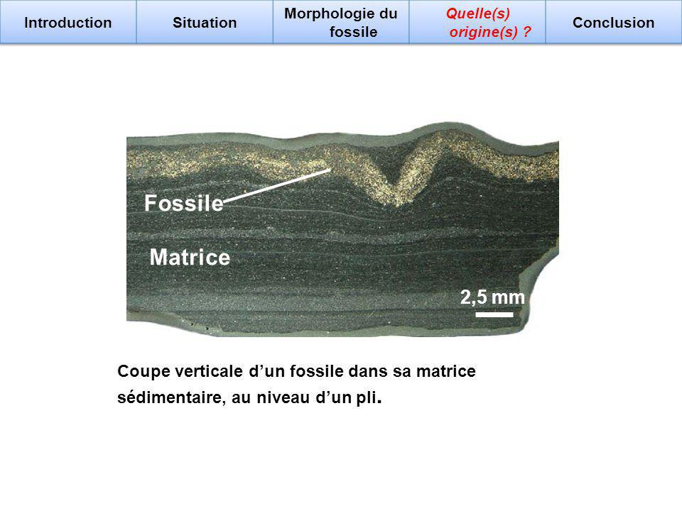 2,5 mm Coupe verticale dun fossile dans sa matrice sédimentaire, au niveau dun pli. Fossile Matrice