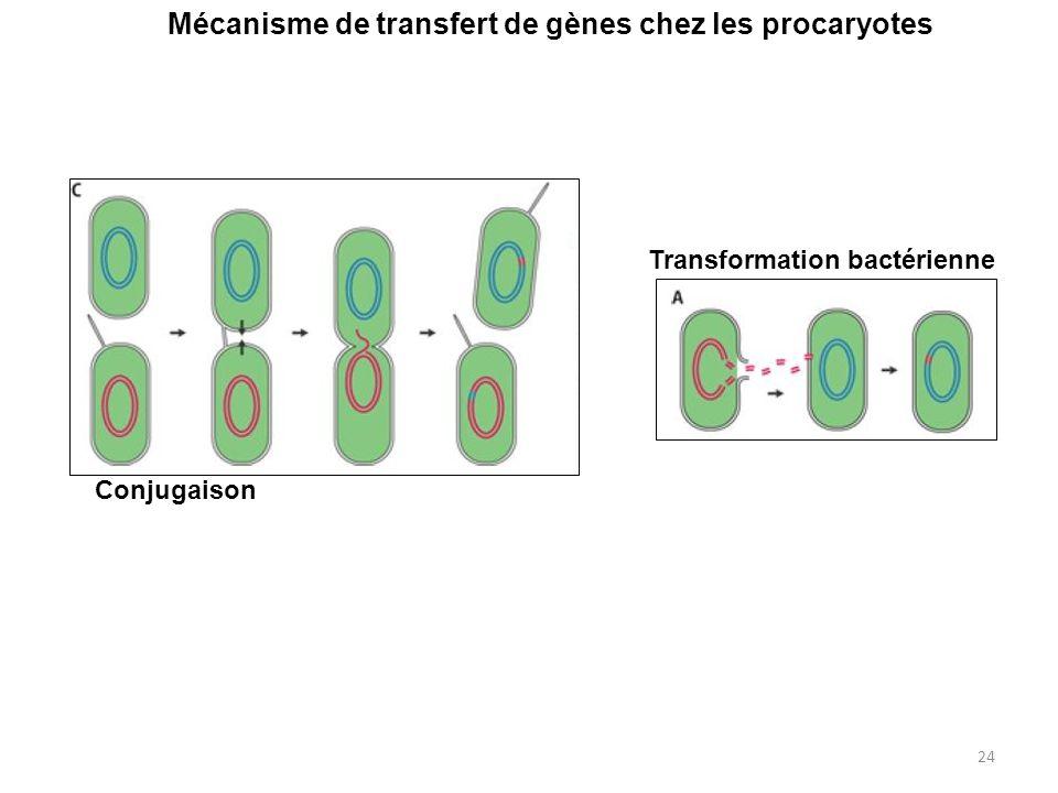 24 Mécanisme de transfert de gènes chez les procaryotes Conjugaison Transformation bactérienne